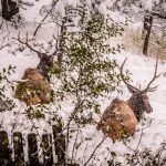 Just A Couple of Bull Elk Hanging Out In The Snow