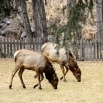 2 Elk On The Front Lawn