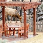 Elk Behind the Pergola