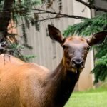 Elk Mama