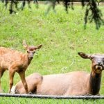 Mama and Baby Elk
