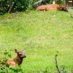 Elk Calves