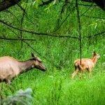 Elk Mama and Her Calf