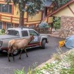 Cow Elk Size Comparison