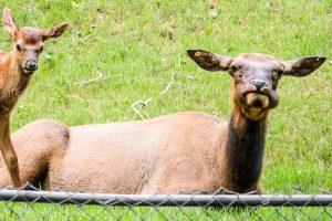 Cow Elk chewin her cud