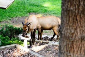 Elk drinking out of the pond