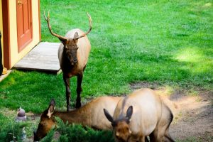 Bull Elk and cows by the chicken coop