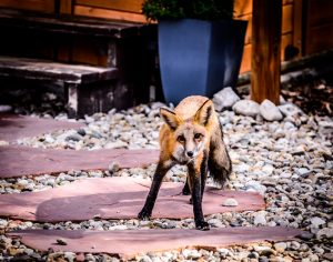 Fox up by the Hot Tub at the Alpen Way Chalet