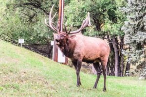 Majestic Bull Bugling
