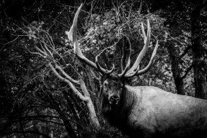 Giant bull elk