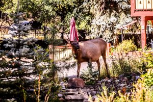 This cow elk really likes the pond