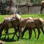 Elk Cows - Spring 2019