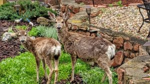 Doe and Fawn by the boulders