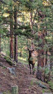Elk in the Woods - Sprint 2019