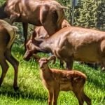 Mama and Baby Elk Herd - Summer 2019