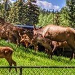 Mama and Baby Elk Herd - Summer 2019