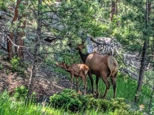 Mama and Baby Elk - Summer 2019