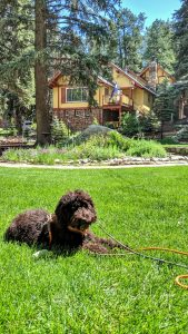 Chica the Lodge Dog resting on the front lawn