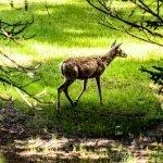 Elk Calf - Summer 2019