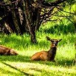Cow Elk Blep - Summer 2019