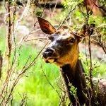 Cow Elk - Summer 2019