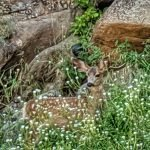 Fawn by the Boulders