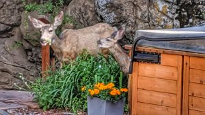 Doe and Fawn by the Hot Tub