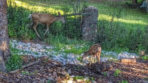 Does and Fawns in the Yard