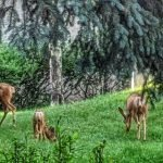 Does and Fawns in the Trees