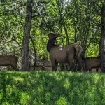 Elk In the Trees