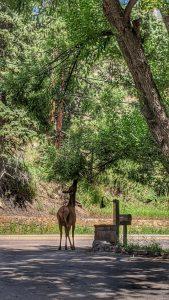 Elk in the Driveway