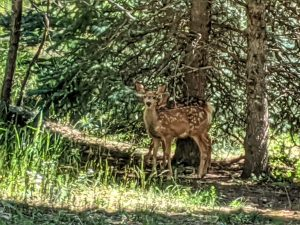 Fawns in the Trees