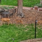 Doe and Fawns in the Front Yard