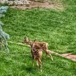 Fawns in the Front Yard