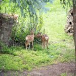 Fawns