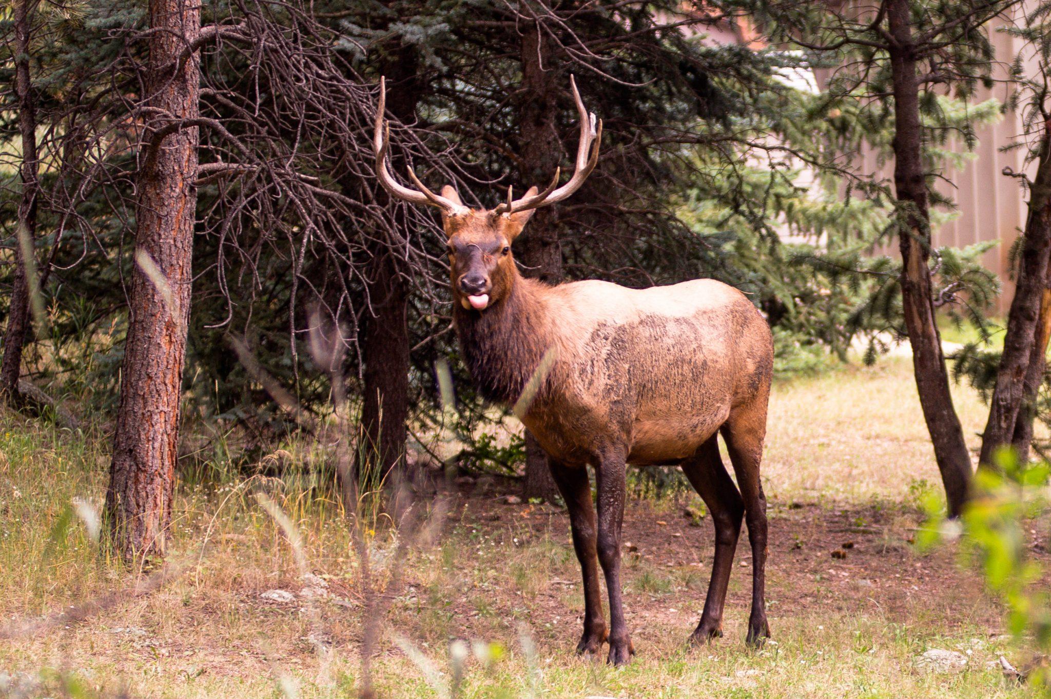 Bull Elk Blep