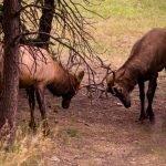 Sparring Elk