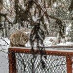 Bobcat on the Chicken Run