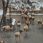 Elk Parade - April 12 2020