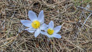 Pasquel Flower Along the Western Ridge Trail