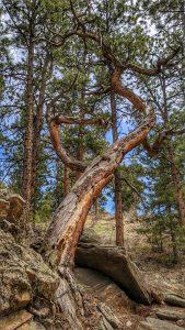 Crazy Tree Along the Bear Creek Trail in O'Fallon Park