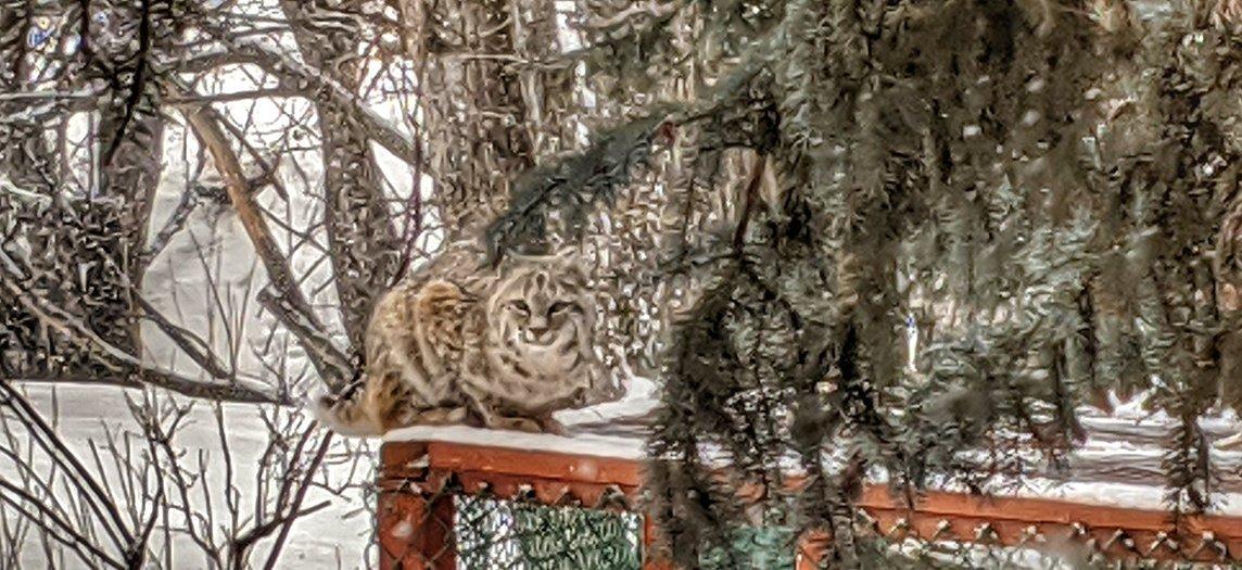 Bobcat on the Chicken Run - Home Slider