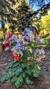 Columbines in the front bed - Slider