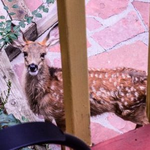 Fawn From The Balcony