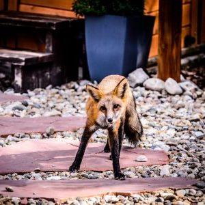 Fox by the Hot Tub