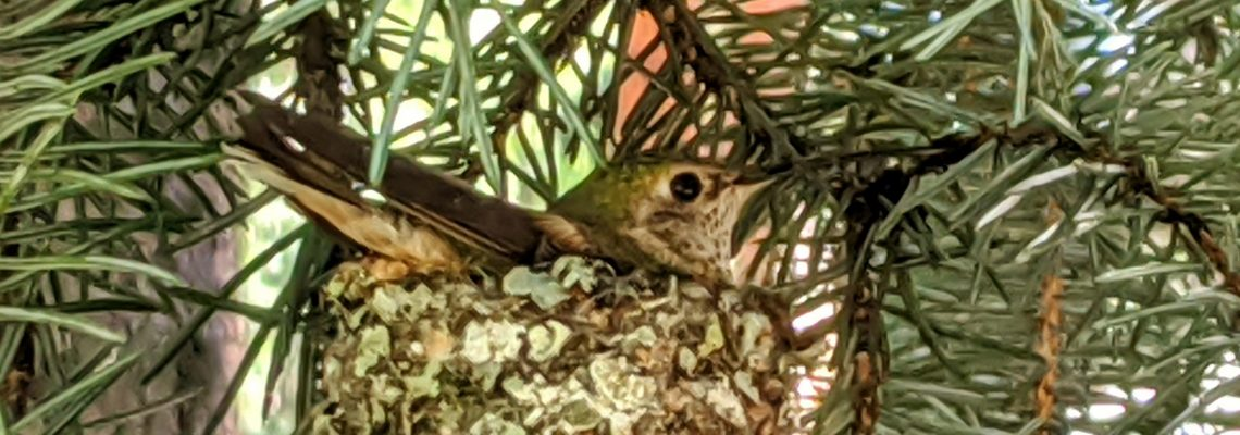 Hummingbird in the nest