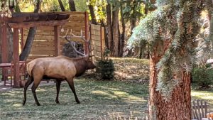 Elk in the front yard at the lodge