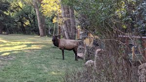 Big Bull Elk