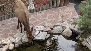 The Elk Visit On Labor Day