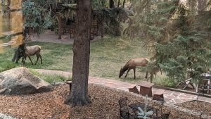 Elk in the Front Yard